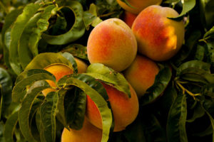 Closeup of cluster of six ripe golden peaches with red blush on skins against background of green peach leaves