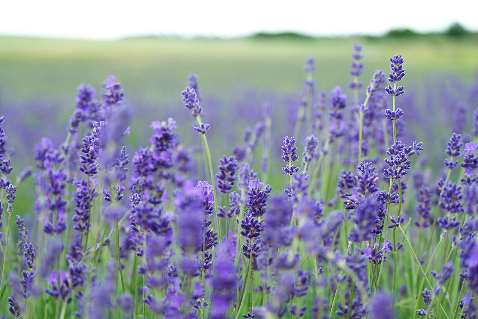 Lavender Festivals and Lavender Farms in Texas Hill Country