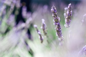 closeup of lavender flowers in field - foreground in focus, background flowers blurred