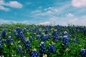 field of Texas bluebonnets photographed at eye level with white clouds blue sky above